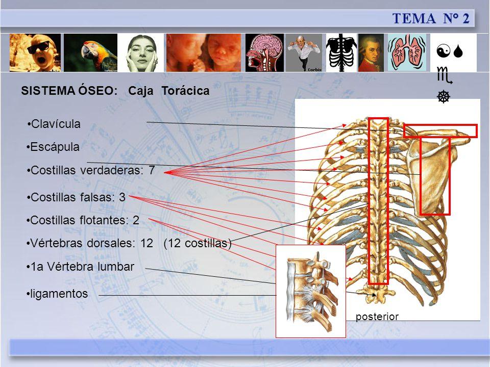 [Se] SISTEMA ÓSEO: Caja Torácica Clavícula Escápula